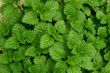 background of fresh green nettle