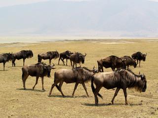 Ñus en el cratel del Ngorongoro