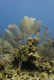 Common Sea Fans (Gorgonia ventalina) poster