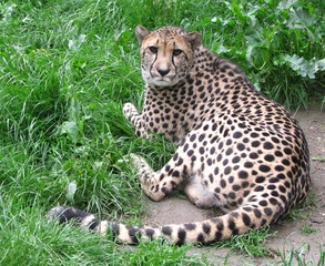 Cheetah is looking in camera