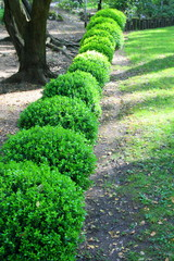 Japanese Boxwood Schrubs