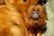 lion tamarin