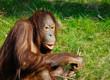 Leinwanddruck Bild cute orangutan