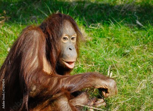 Leinwandbild Motiv cute orangutan
