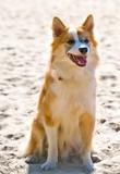 Iceland hound poster