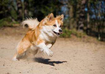 Running iceland hound