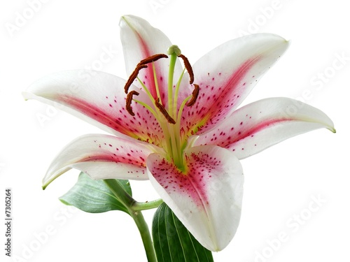 white and pink lily with brown pollen