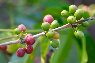 Coffee Bean Plant