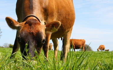 Jersey Cow and Grass