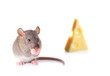 Mouse nibbling some cheese isolated on white