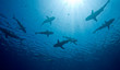 canvas print picture - Sharks