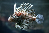 Common Lionfish poster