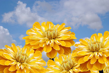 Yellow flowers on a background of the cloudy sky.