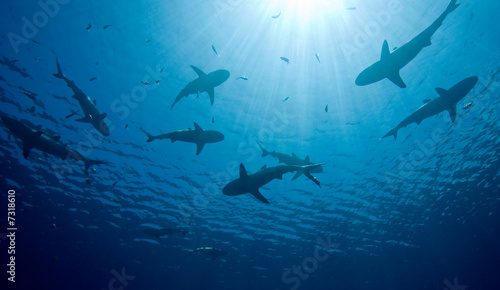 canvas print picture Sharks