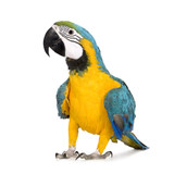 Fototapety Young Blue-and-yellow Macaw - Ara ararauna (8 months)