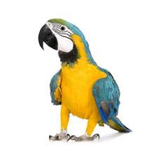 """Постер, картина, фотообои """"Young Blue-and-yellow Macaw - Ara ararauna (8 months)"""""""