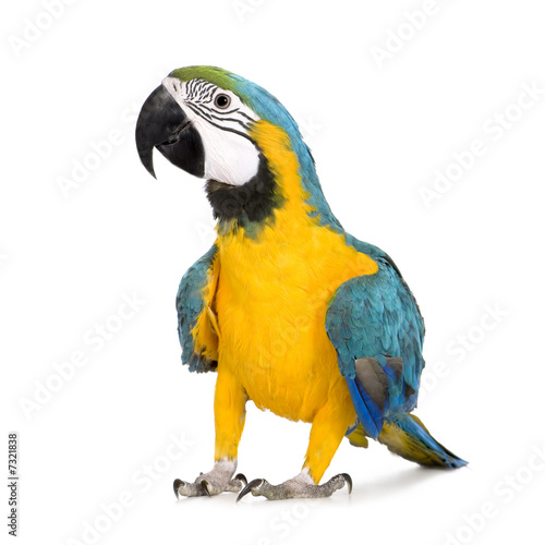 Poster Young Blue-and-yellow Macaw - Ara ararauna (8 months)