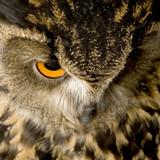 Eurasian Eagle Owl - Bubo bubo (22 months) poster