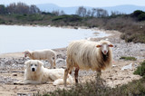 A flock of sheep and a dog at the sea shore. Sardinia poster