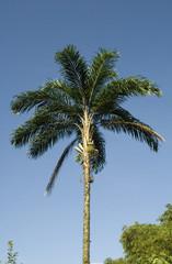 Palma de Chontaduro - Bactris gasipaes