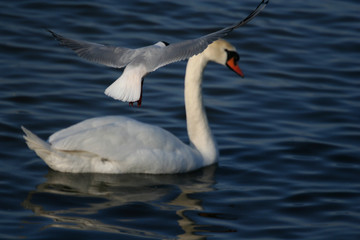 white beautiful swan in water and flying seagull above