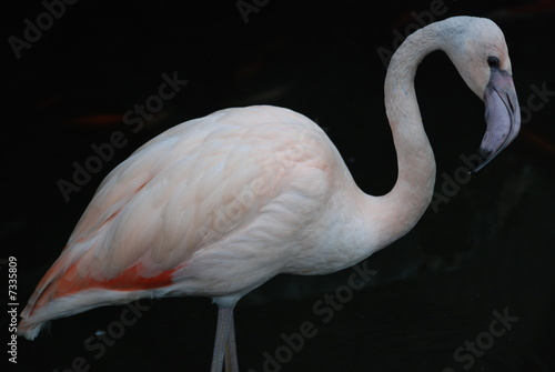 Fotobehang flamand rose