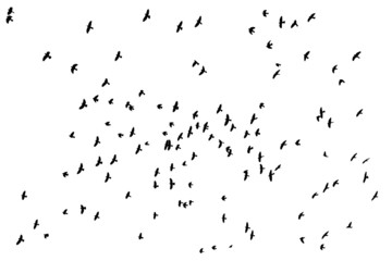 Flock of birds silhouette over white