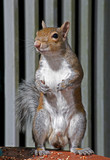 Eastern Gray Squirrel on alert poster