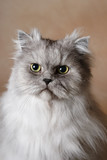 Portrait of a Persian Cat poster