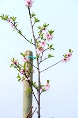 junger Mandelbaum