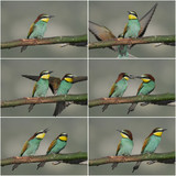 Bee-eater (Merops apiaster). poster