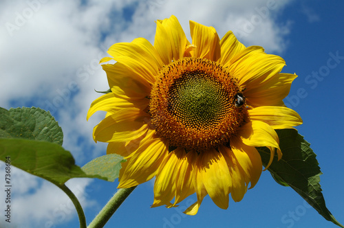 sunflower (рelianthus annuus)