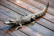 wild alligator on a deck in Florida