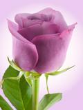 Fototapety Purple Rose