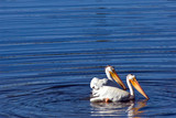 Two pelicans in the river, Yellowstone national park, Wyoming poster