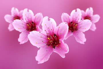 pink flowers of peach