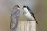 Pair of Tree Swallows (tachycineta bicolor)  poster