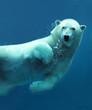 roleta: Polar bear underwater close-up