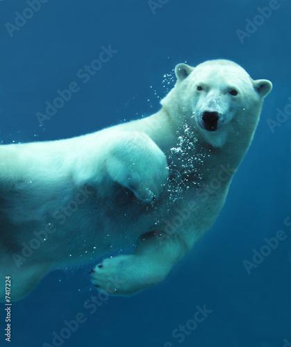 Fototapeten Eisbar Polar bear underwater close-up