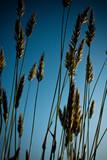 céréale brin tige herbe bio nutrition alimentation bleu poster