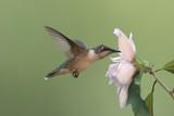 Ruby-throated Hummingbird - Juvenile poster