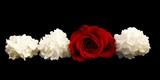 panorama sur une rose rouge entourée de lilas blanc poster