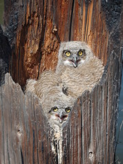 Owls in Log