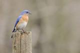 Female Eastern Bluebird (Sialia sialis) on a stump poster