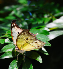 Salamis parhassus butterfly
