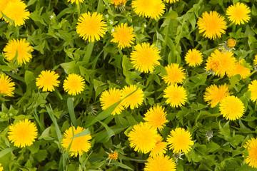 dandelion by springtime