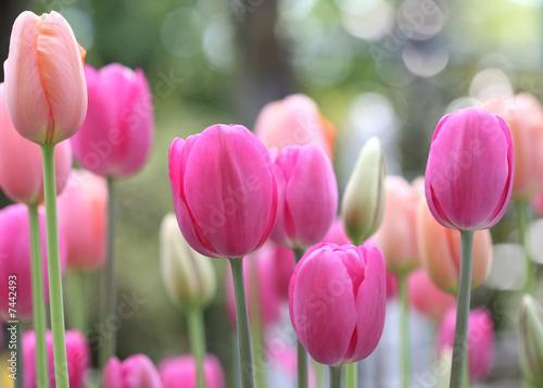 kwiaty-tulipanow-na-lace