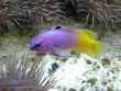 Purple Yellow Fish