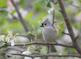 Tufted Titmouse (baeolophus bicolor) in an apple tree poster