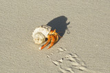 Land Hermit Crab poster